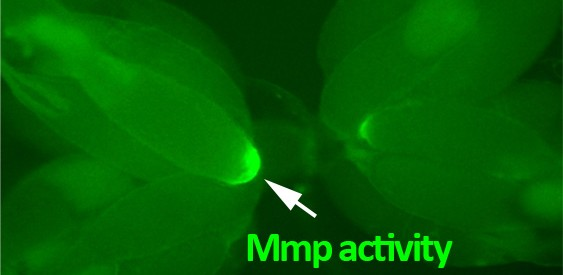 mmp activity